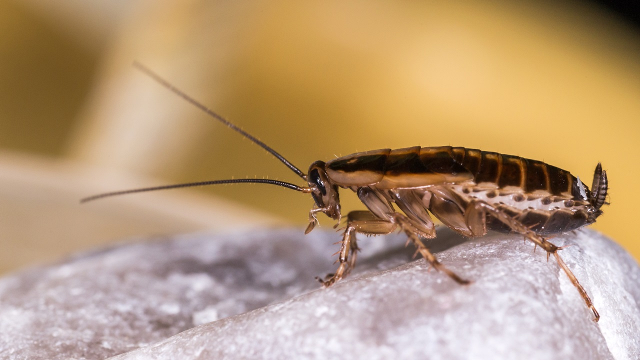 Cómo atrapar cucarachas   © Pixabay.com