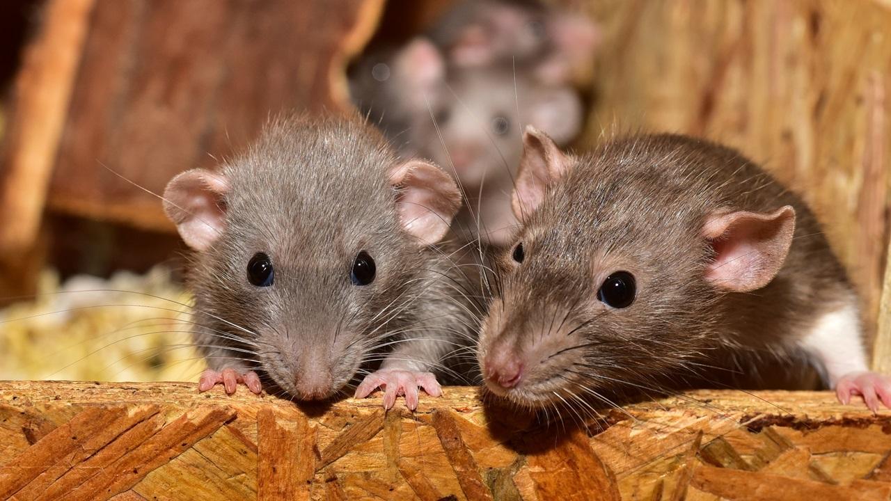 Cómo atrapar ratas | © Pixabay.com