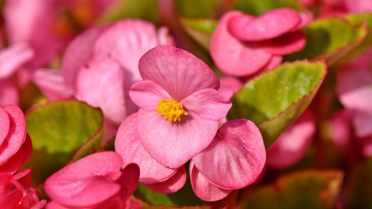 Cómo cultivar begonias | © Pixabay.com