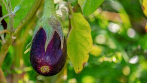 Cómo cultivar berenjenas