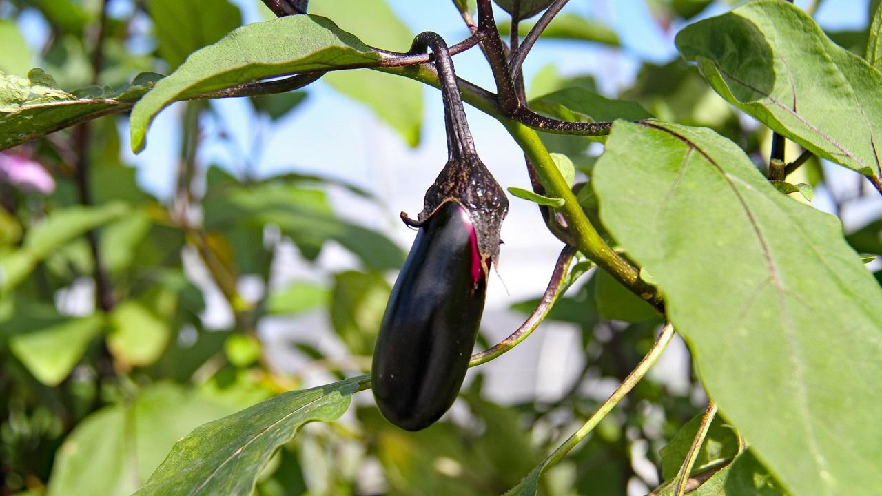 Cómo cultivar berenjenas   © Pixabay.com