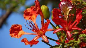 Cómo cultivar flamboyán
