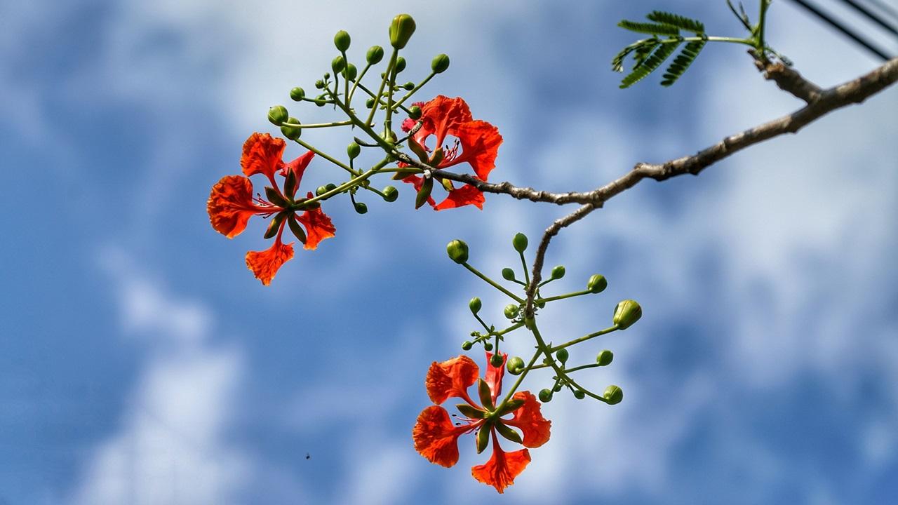 Cómo cultivar flamboyán | © Pixabay.com