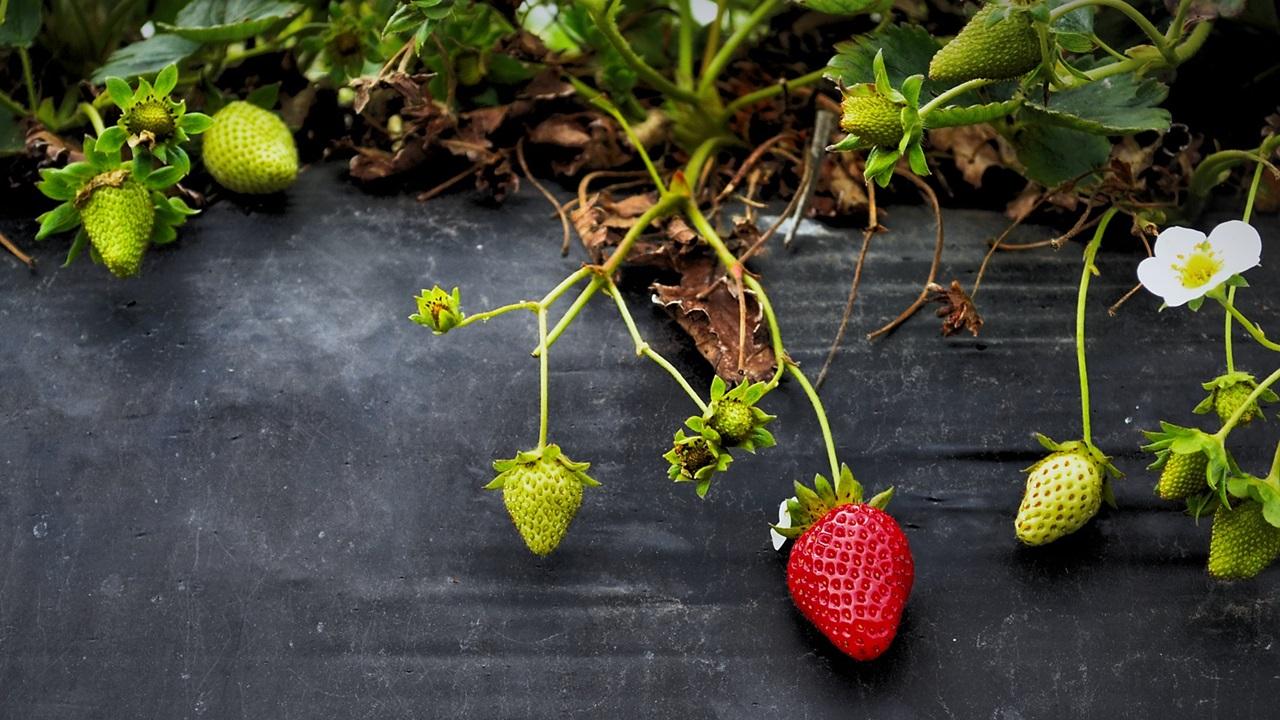 Cómo cultivar fresas | © Pixabay.com