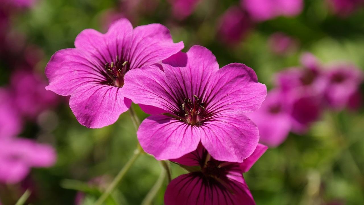 Cómo cultivar geranios | © Pixabay.com