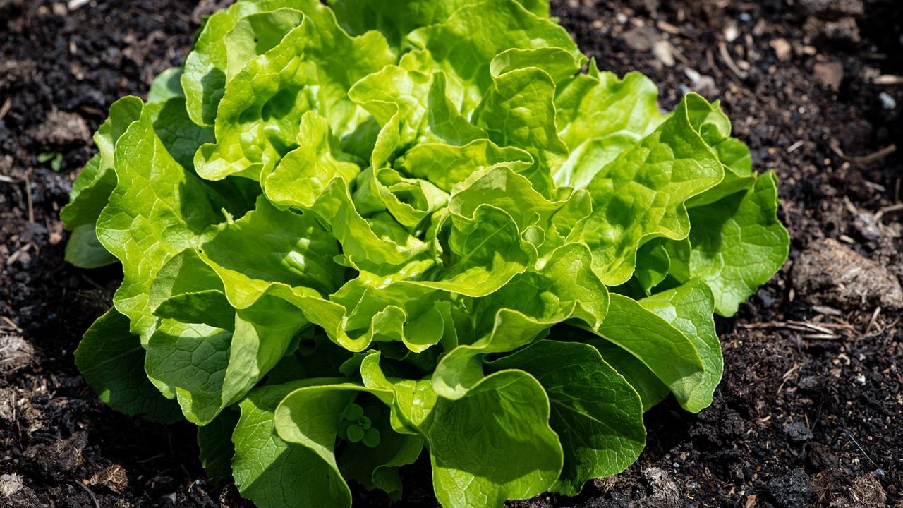 Cómo cultivar lechugas | © Pixabay.com
