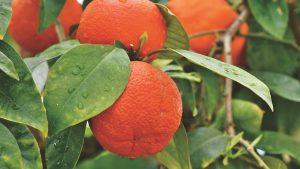 Cómo cultivar naranja