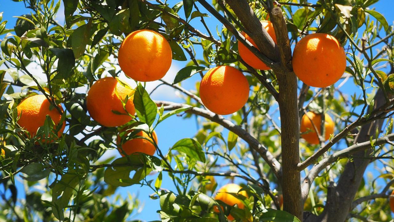 Cómo cultivar naranja | © Pixabay.com