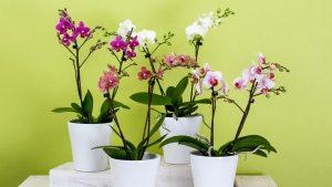 Cómo cultivar orquídeas