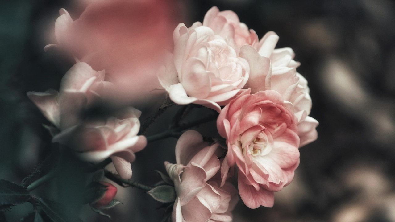 Cómo cultivar rosales | © Pixabay.com