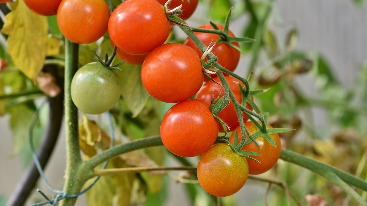 Cómo cultivar tomates   © Pixabay.com