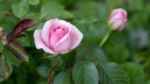 Cuándo hay que podar los rosales