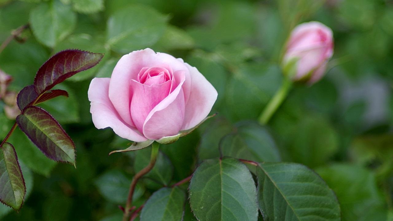 Cuándo hay que podar los rosales   © Pixabay.com
