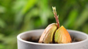 Как ухаживать за авокадо