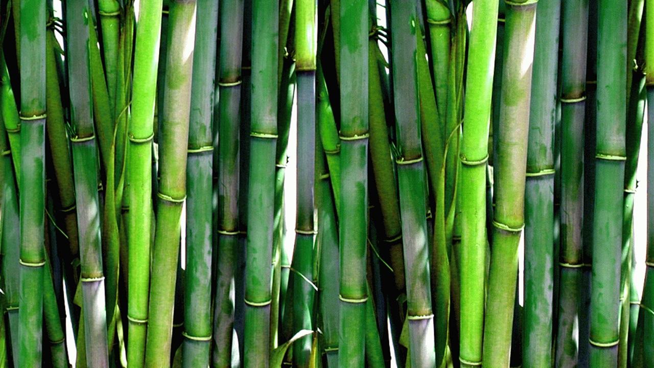 Как выращивать бамбук | © Pixabay.com