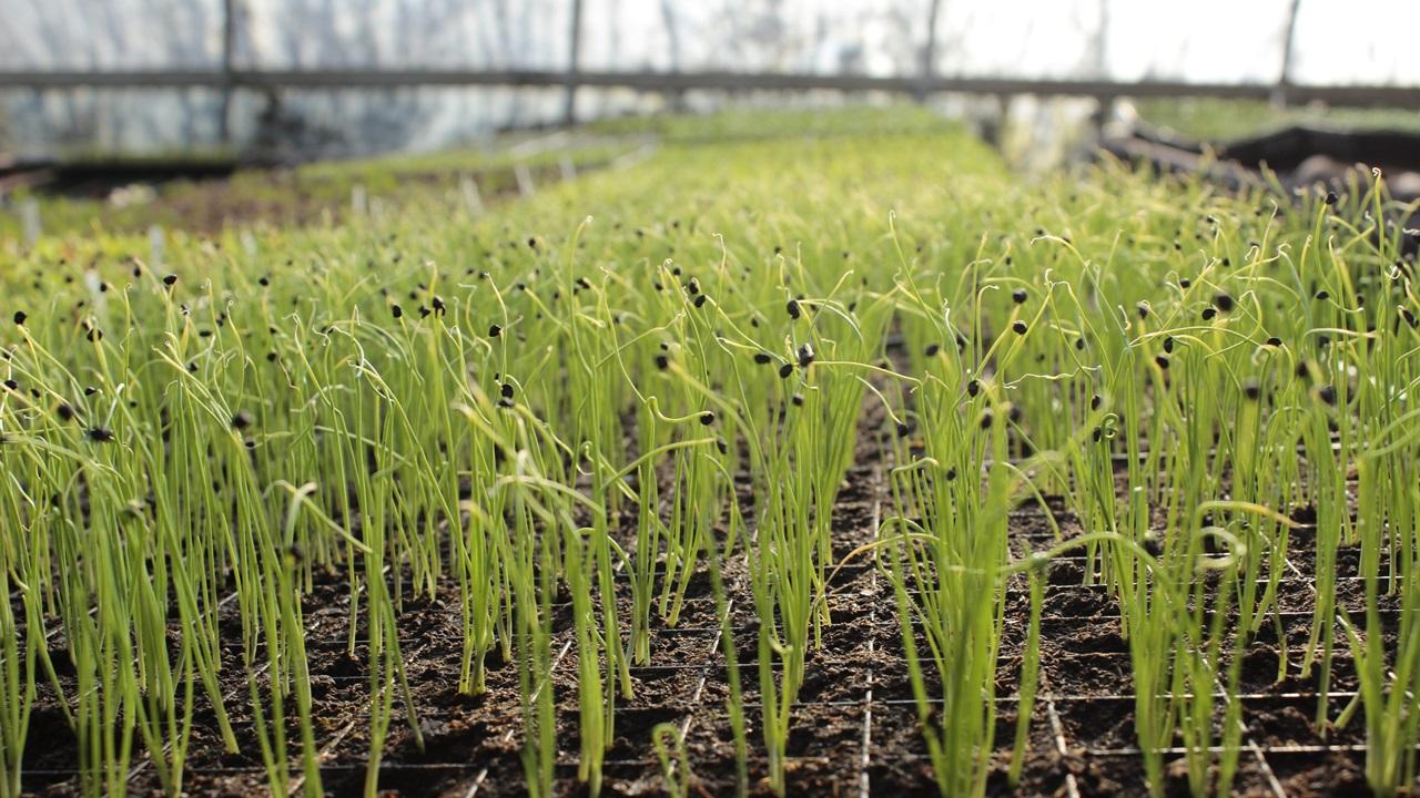 Как выращивать чеснок   © Pixabay.com