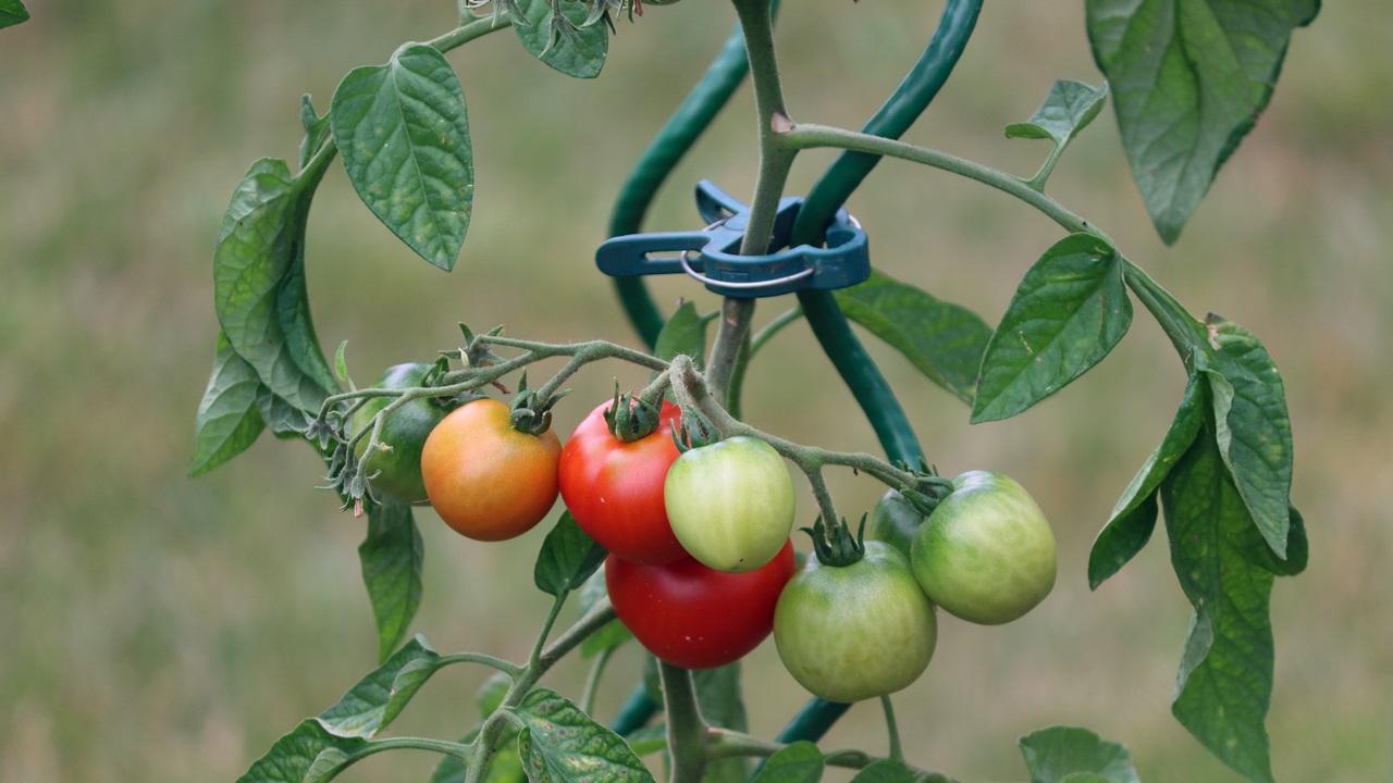 Как выращивать помидоры   © Pixabay.com