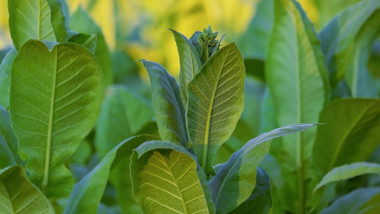 Как выращивать табак | © Pixabay.com