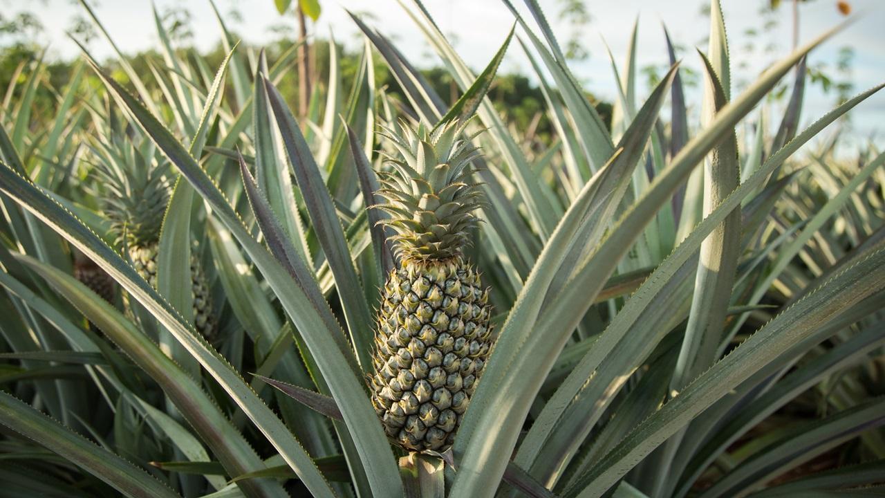 Как вырастить ананас | © Pixabay.com