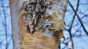 Ako ošúpať kôru zo stromu
