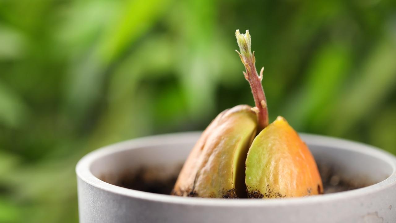 Ako pestovať avokádo