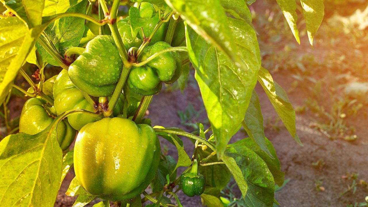 Ako pestovať papriky