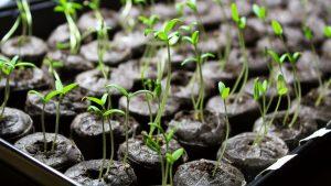 Ako pestovať paradajky
